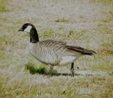 Geese5449 Cackling.JPG