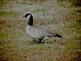 Geese5450 Cackling.JPG