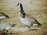 Geese5451 Cackling.JPG