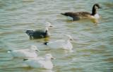 Geese5467.JPG