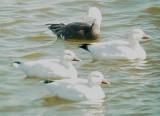 Geese5468 Snow-Blue Geese.JPG
