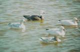 Geese5472 Snow-Blue Geese.JPG