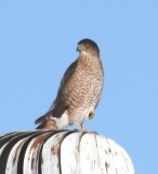 Coopers Hawk 0415a