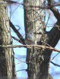 Blue-headed Vireo front 0499a