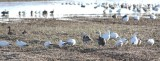 Geese 0505a