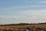 Geese Aloft 0515