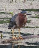 0835 Grn Heron.JPG