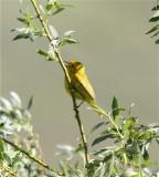 2297 Yellow Warbler