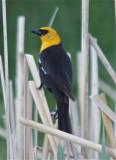 0575 Yellow-headed Blackbird