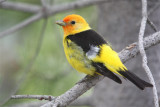 0628 Western Tanager
