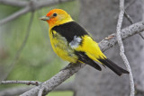 0629 Western Tanager