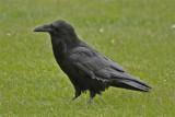 1661 Raven