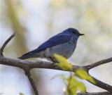 9763 Mountain Bluebird