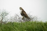 0197 Red-tailed Hawk at Pits.JPG