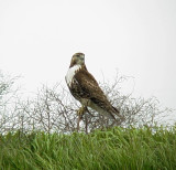 0198 Red-tailed Hawk at Pits.JPG
