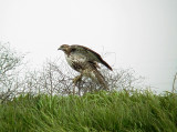 0199 Red -tailed Hawk at pits.JPG