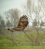 0200 Red-tailed Hawk at pits.JPG