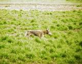 0209 Coyote at pits.JPG