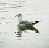 0218 Ring-billed Gull.JPG