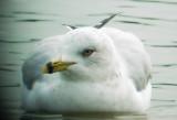 0237 Ring-billed Gull.JPG