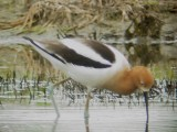 118-01940 Am Avocet.JPG