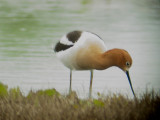 118-01946 Am Avocet.JPG