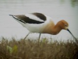 118-01947 Am Avocet.JPG