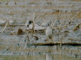 119-01993 Black Tern Resting.JPG