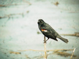 119-02003 Red Wing Blackbird.JPG