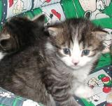 Boogitar - black mackerel tabby with white girl at three weeks