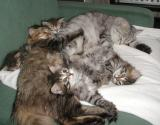 Izzi having siesta with Charisma and her kittens before delivery