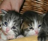 Hip Hop - silver mackerel tabby white  & Harlequin black mackerel tabby white boys