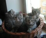 kittens12w.jpg