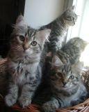 kittens12w15.jpg