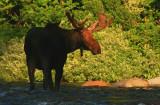 Bull Moose Crossing the Pemigewasset River