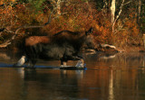 Moose Crossing the Swift River