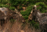 Mama Moose and Calf in Springtime