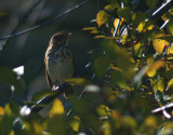 Bicknell's Thrush Before Migration