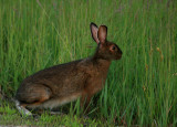 Snowshoe Hare in Summer