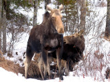 Mama and Baby Moose in Early Spring