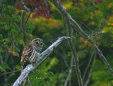 Barred Owl on the Swift River