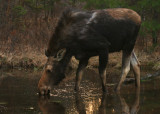 large cow moose in spring