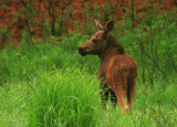 month-old moose calf (a)
