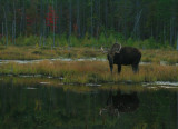 Bull Moose in Early Autumn