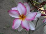 Another garden flower