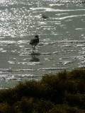 Sanderling in the Sun