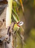 Cuban Green Woodpecker