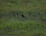 Cuban blackbird....poor pict but only one on trip