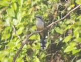 Mangrove Cockoo