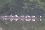 Roseate Spoonbills and others